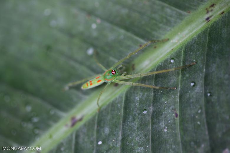 Green spider with orange spots