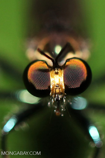 Fly with orange eyes and blue and black legs
