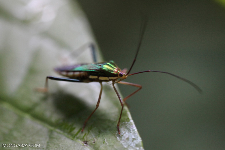 Green metallic, yellow, and black bug