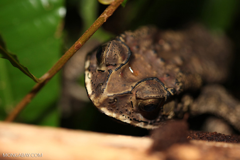 Giant Bufo melanostictus toad (invasive in New Guinea)