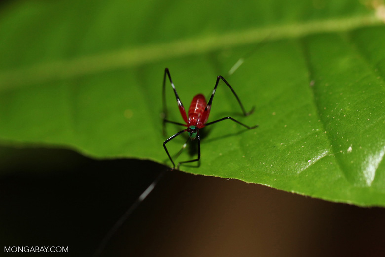 Red and green katydid