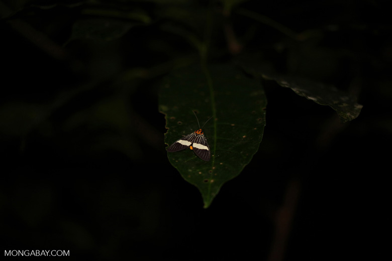 Orange-headed moth