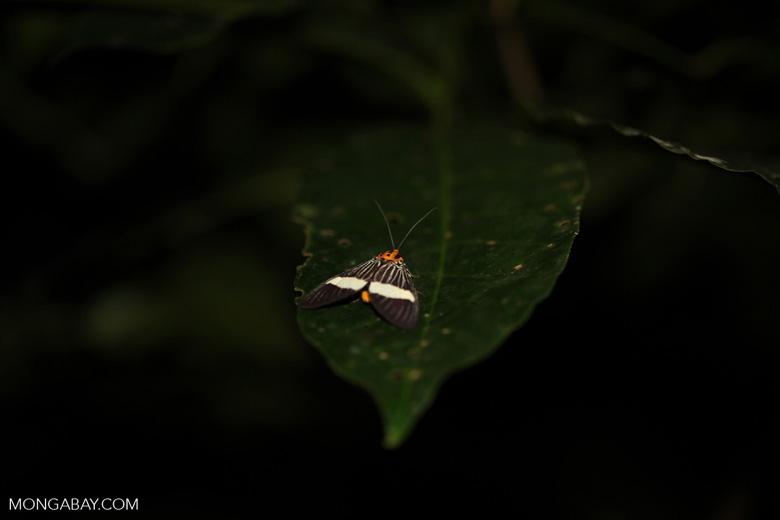 Orange-headed moth