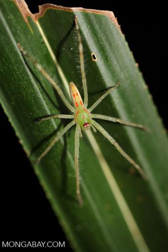 Green spider with orange markings
