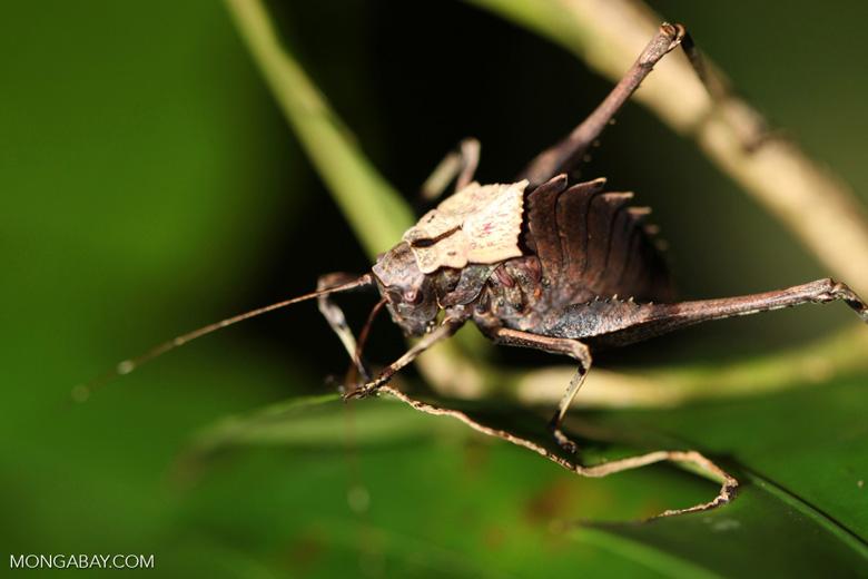 Armored katydid