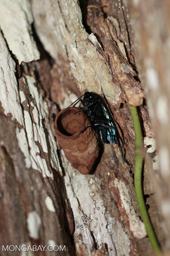 Giant black and blue wasp