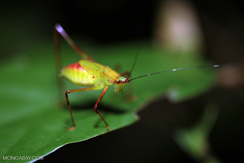 Colorful katydid in New Guinea (photo)