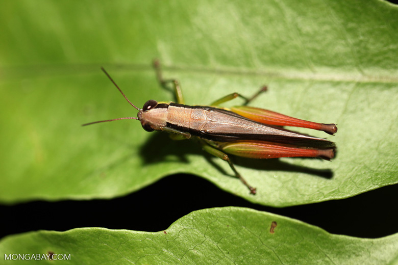 Grasshopper with orange legs