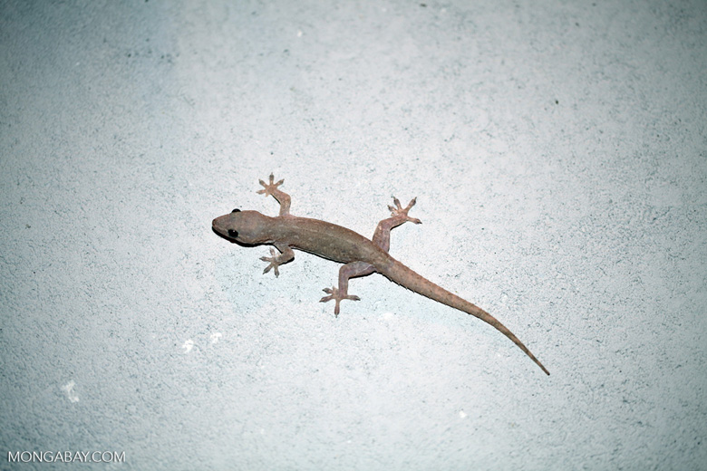 House gecko (Hemidactylus frenatus) in New Guinea