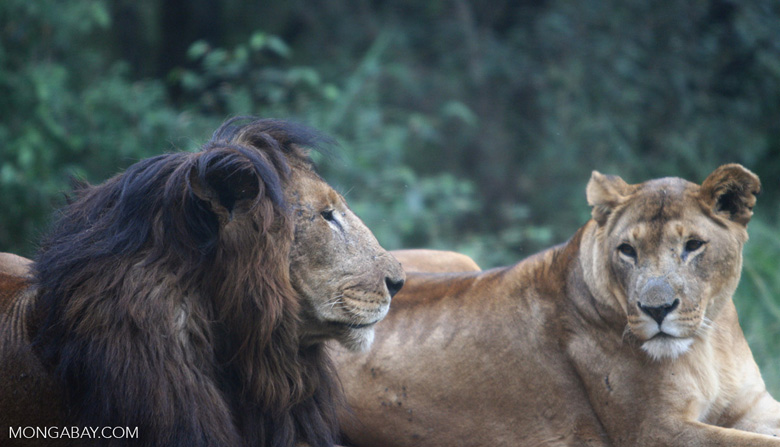 A black-maned lion and lioness in Kenya. Lion skins are among the wildlife specimens Kenyan politicians are suspected of trafficking. Photo by Rhett A. Butler