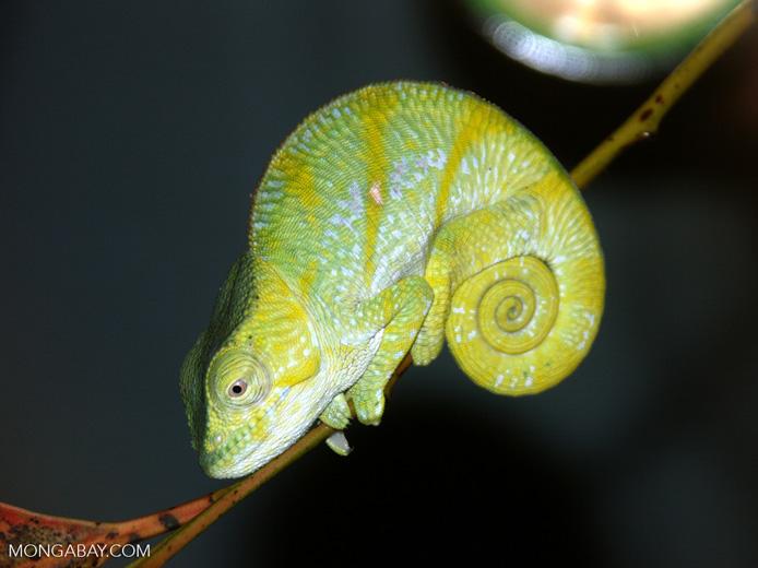 A Parson's chameleon (Calumma parsonii) in Andasibe, Madagascar. Image by Rhett A. Butler.
