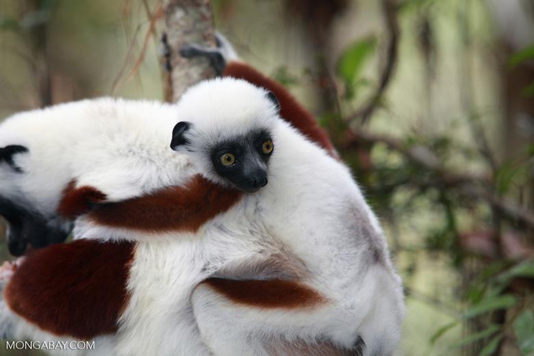 Coquerel's Sifaka (Propithecus coquereli) with baby [madagascar_0035]