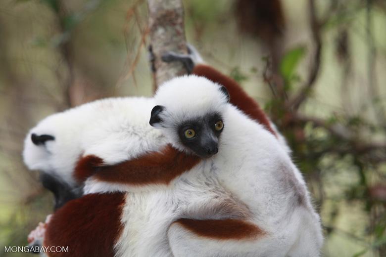 Coquerel's Sifaka (Propithecus coquereli) with baby [madagascar_0036]