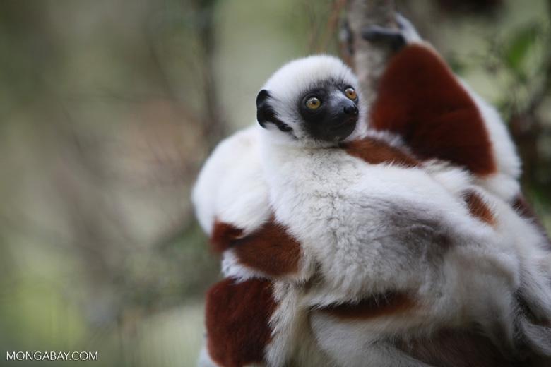 Female Coquerel's Sifaka (Propithecus coquereli) with baby