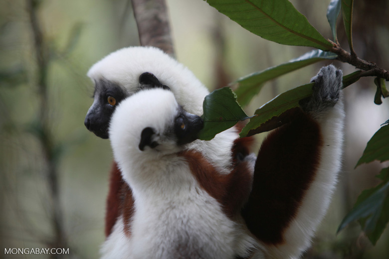 Mother Coquerel's Sifaka (Propithecus coquereli) with baby [madagascar_0051]