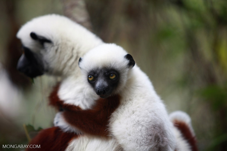 Mother Coquerel's Sifaka (Propithecus coquereli) with baby [madagascar_0081]
