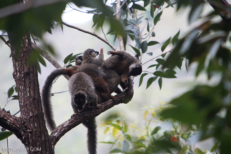 Group of common brown lemurs (Eulemur fulvus) paying in the canopy