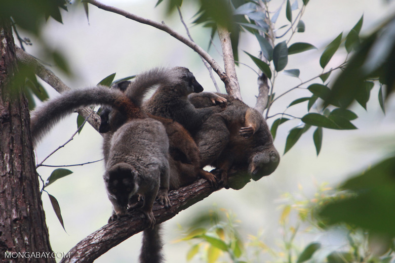 Group of common brown lemurs (Eulemur fulvus) paying in the canopy [madagascar_0097]