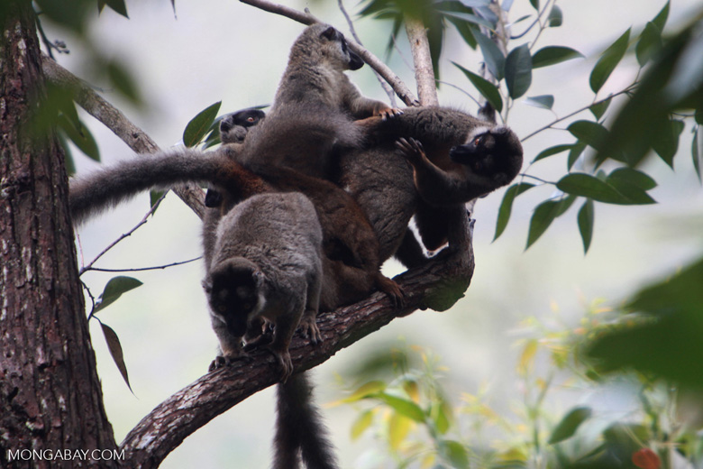 Group of common brown lemurs (Eulemur fulvus) [madagascar_0099]