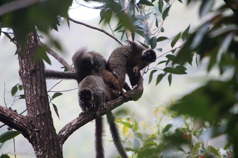 Group of common brown lemurs (Eulemur fulvus) [madagascar_0101]