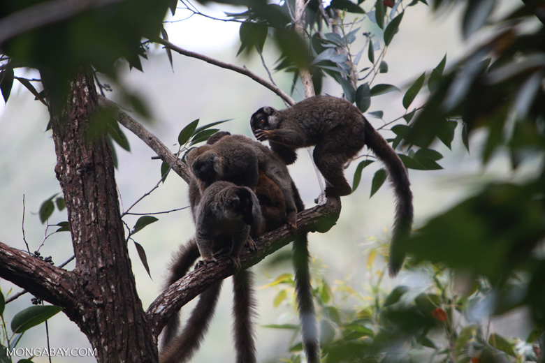 Group of common brown lemurs (Eulemur fulvus) grooming eachother in a tree