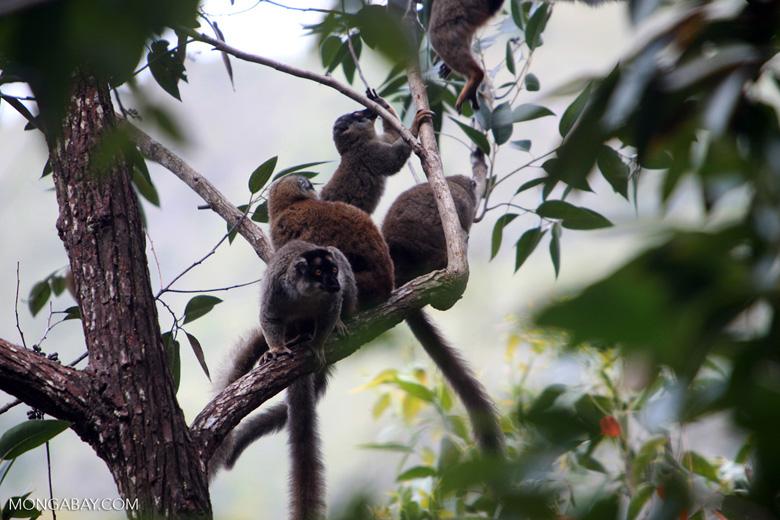 Common brown lemurs (Eulemur fulvus) [madagascar_0114]