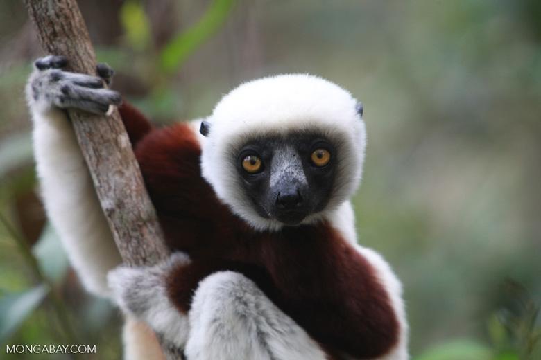 Coquerel's Sifaka (Propithecus coquereli) in Madagascar [madagascar_0139]