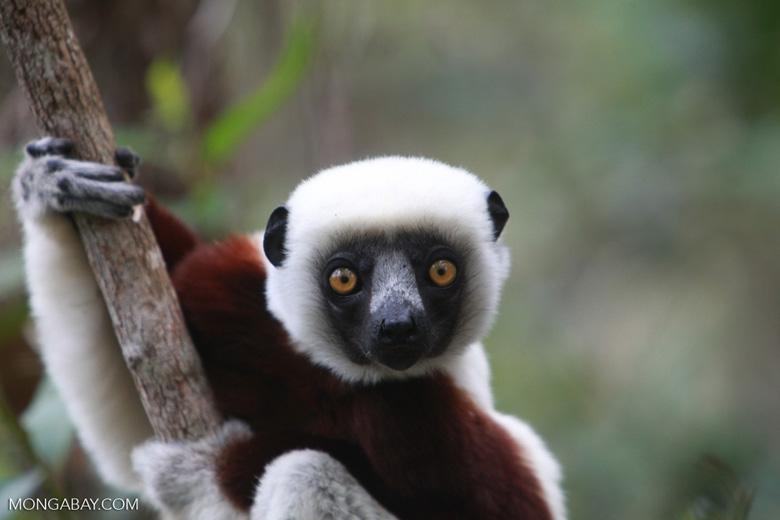 Coquerel's Sifaka (Propithecus coquereli) in Madagascar [madagascar_0141]