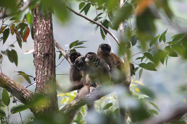 Common brown lemurs (Eulemur fulvus) [madagascar_0149]