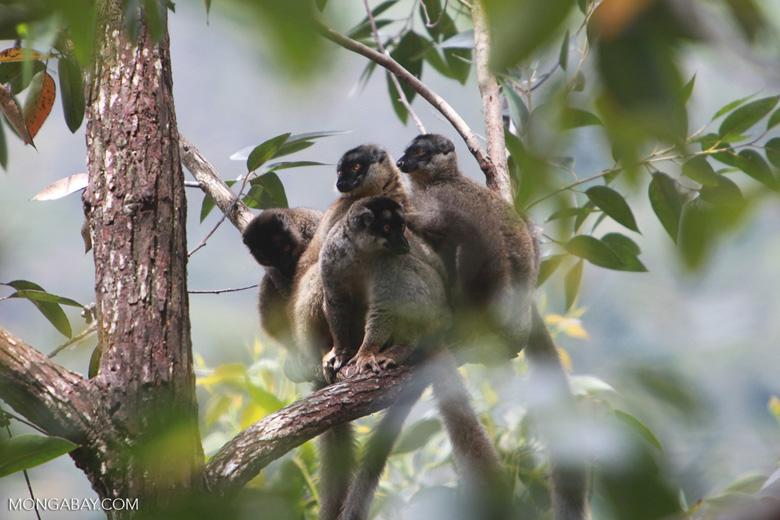 Common brown lemurs (Eulemur fulvus) [madagascar_0171]