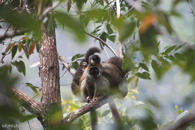 Common brown lemurs (Eulemur fulvus) [madagascar_0173]