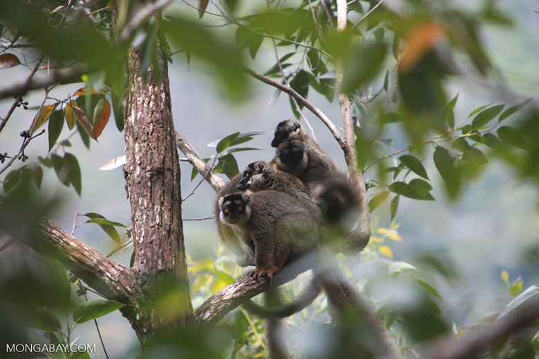 Common brown lemurs (Eulemur fulvus) [madagascar_0175]