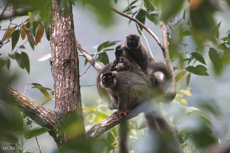 Common brown lemurs (Eulemur fulvus) [madagascar_0177]
