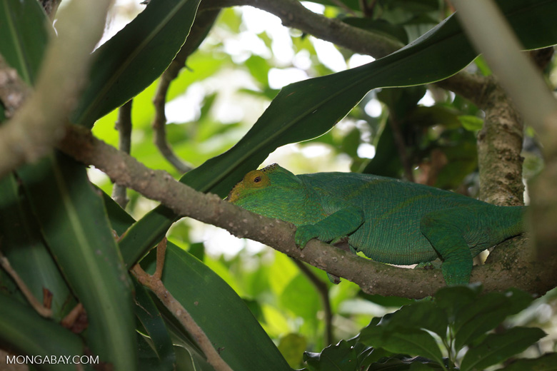 Parson's chameleon (Tolongoina race) [madagascar_0193]