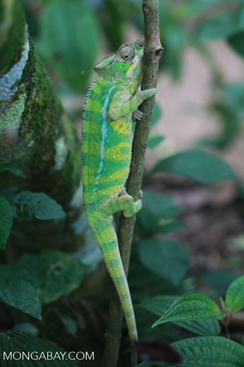 Panther chameleon (Furcifer pardalis) [yellow & green]