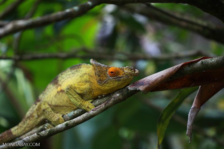 Parson's chameleon (Calumma parsonii) [yellow and orange] [madagascar_0220]