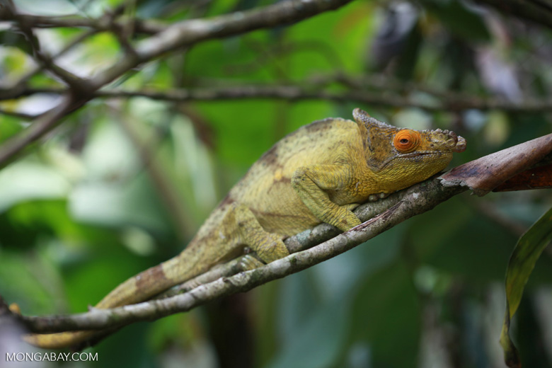 Parson's chameleon (Calumma parsonii) [yellow and orange] [madagascar_0221]
