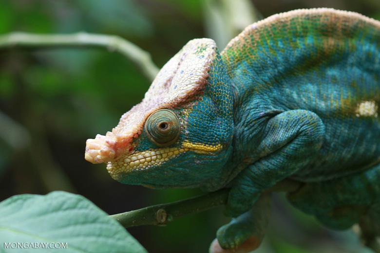 Parson's chameleon (Calumma parsonii) [yellow and orange] [madagascar_0226]