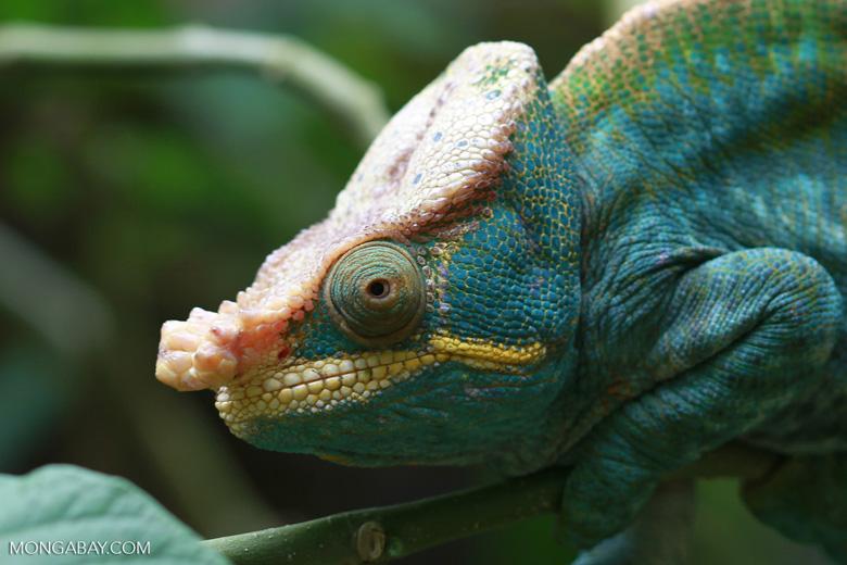 Parson's chameleon (Calumma parsonii) [yellow and orange] [madagascar_0229]
