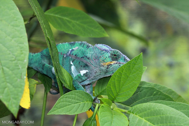 Panther chameleon (Furcifer pardalis) [madagascar_0233]
