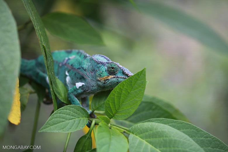 Panther chameleon (Furcifer pardalis) [madagascar_0234]