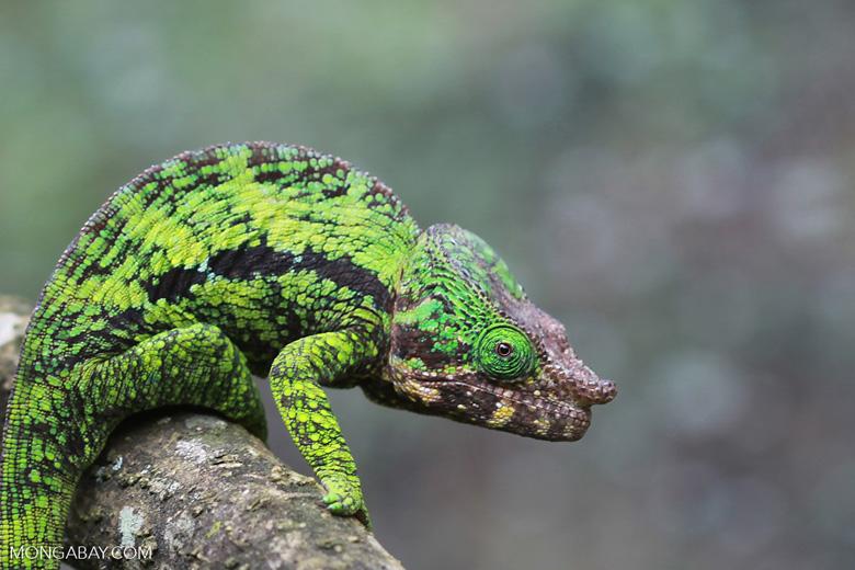 Calumma globifer chameleon (male) [madagascar_0238]