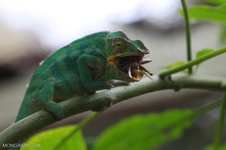 Panther chameleon feeding on a cricket