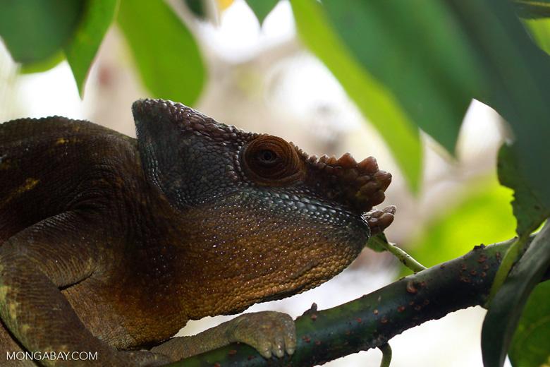 Giant male Parson's chameleon (Calumma parsonii) [yellow and orange] [madagascar_0255]
