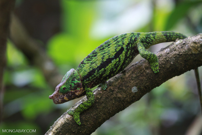 Calumma globifer chameleon (male) [madagascar_0257]