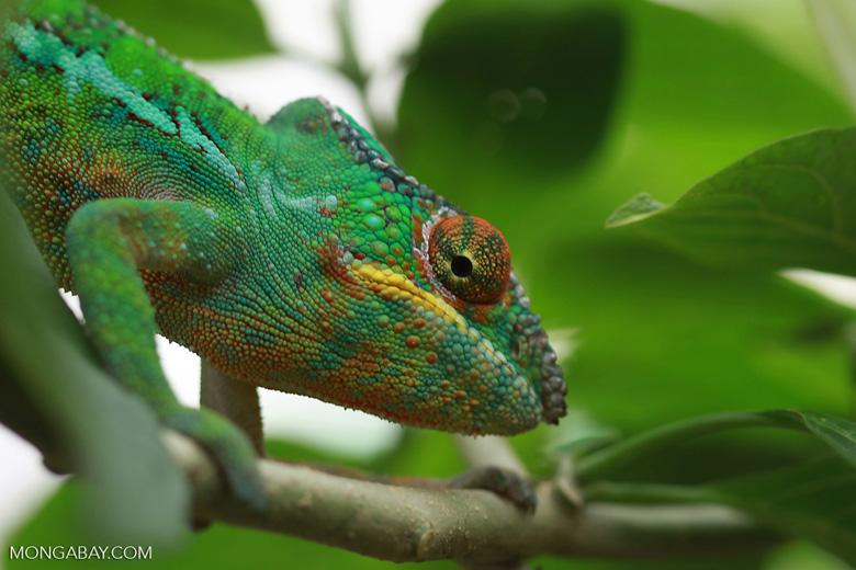Male panther chameleon (Furcifer pardalis) [madagascar_0268]