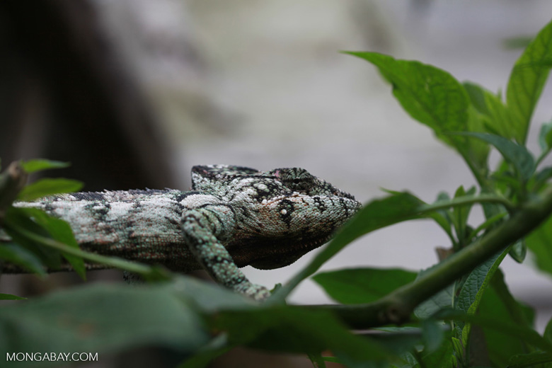 Male panther chameleon (Furcifer pardalis) [madagascar_0275]