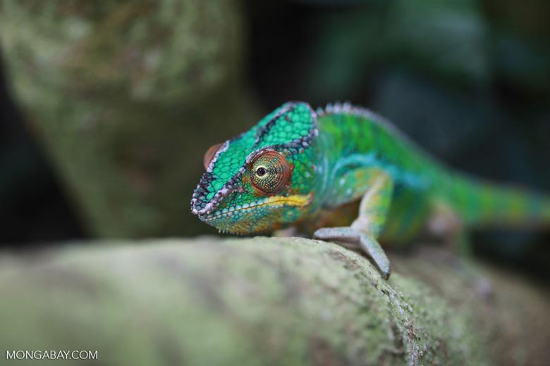 Male panther chameleon (Furcifer pardalis) [madagascar_0292]