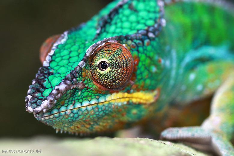 Male panther chameleon (Furcifer pardalis) [madagascar_0293]