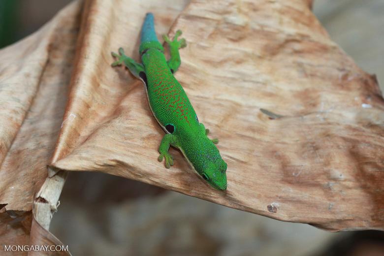 Four Spot Day Gecko (Phelsuma quadriocellata quadriocellata) [madagascar_0319]